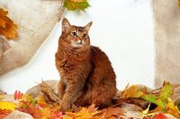 SOMALI, RUDDY, WILDLOOKING, SITTING IN AUTUMN LEAVES,