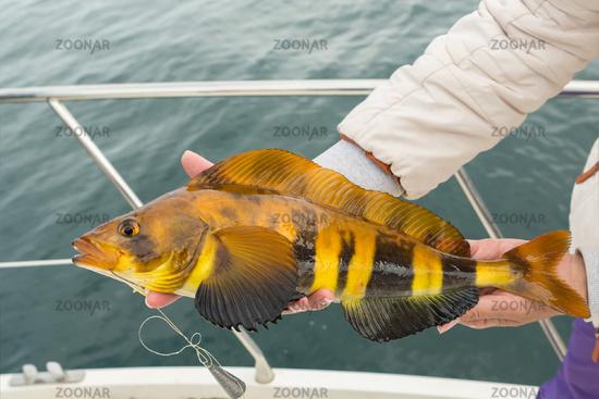 Mackerel on hook. Bottom sea fishing in the Pacific near Kamchatka.
