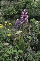 Helmet orchid (Orchis militaris)
