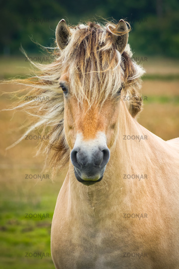 Island horse in the wind