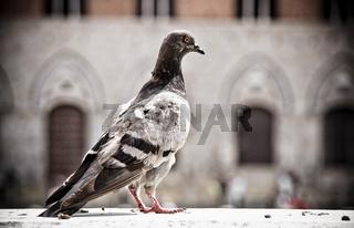 Taube pigeon columbidae