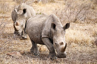 white rhinoceroses, South Africa
