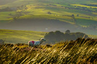 Sheep in Field with Rolling Hills of England.