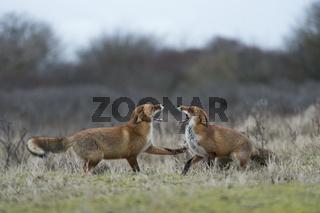 Drohgebärden... Rotfüchse *Vulpes vulpes*