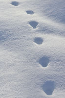 tracks in snow... Red Fox *Vulpes vulpes*
