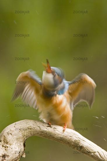 Kingfisher (aelcedo aetthis)