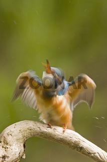 Eisvogel (aelcedo aetthis)