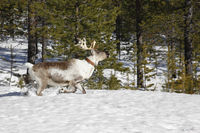 Reindeer / Rangifer tarandus in winter