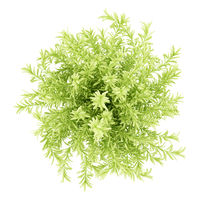 top view of thin leaves sedum plant isolated on white background