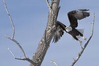 taking off... Bald Eagle *Haliaeetus leucocephalus*