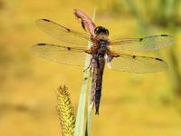 Libellula quadrimaculata, four-spot dragonfly