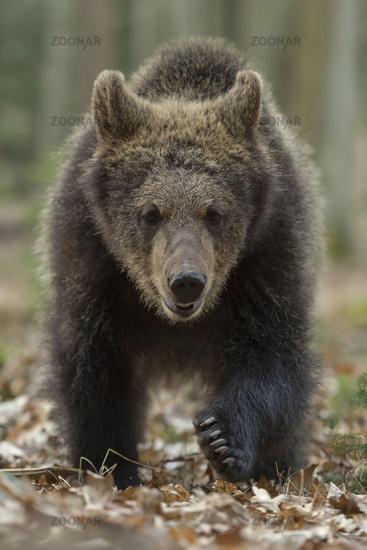 frontal shot... European Brown Bear *Ursus arctos*