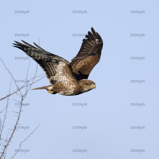 taking off... Common Buzzard *Buteo buteo*