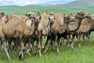 Herde von Trampeltieren, Mongolei