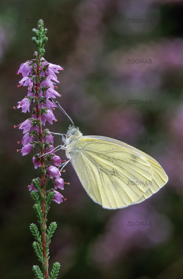 Green-veined White, in Europe can fly 2 to 4 generations per year
