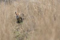 in the reeds... Red Fox *Vulpes vulpes*