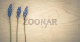 Drei Traubenhyazinthen liegen auf einem Holzbrett. Ein Hintergrund mit Textfreiraum.