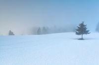 pine tree on snow in morning fog