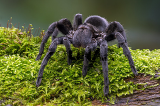 Brazilian Black Velvet Tarantula (Grammostola pulchra)