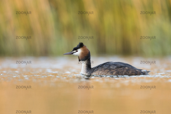 colourful... Great Crested Grebe *Podiceps cristatus*