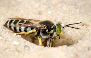 Wasp Bembex rostratus