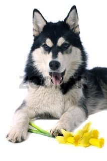Hund Husky & Narzissen