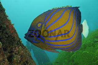 Pomacanthus annularis, Ring-Kaiserfisch