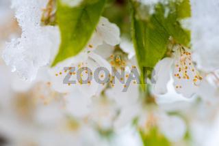 Kirschblüten-11.jpg