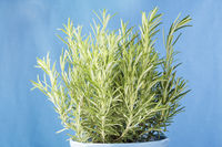 Rosmarinus officinalis, Rosemary plant in pot