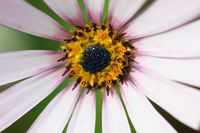 Extreme Macro of a white cape daisy