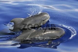 Pilotwalmutter mit Kind, Pilotwhale mother with child