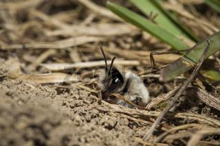 Auensandbiene, Andrena vaga, sand bee
