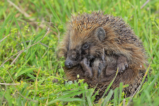 Young european hedgehog