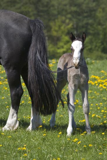 Welshcob foal