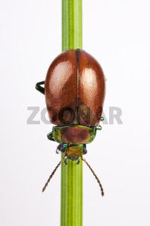 Geglätteter Blattkäfer (Chrysolina polita) - Knotgrass Leaf Beetle (Chrysolina polita)