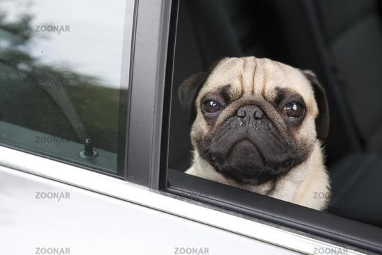 Pug in a car