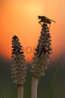 Sporenaehren vom Ackerschachtelhalm mit Dungfliege vor untergegender Sonne