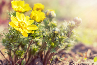 Yellow blooming spring flowers. Sunny day. It rains in sunny day. Low angle. Sunshine. Sunrise. Shallow depth of field. Copy space.