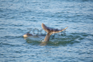 Tail of diving Common bottlenose dolphin