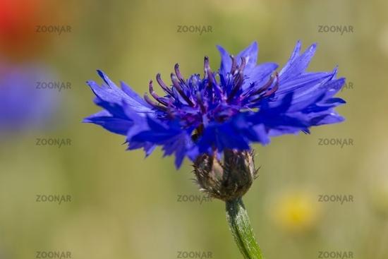 Cornflower 12