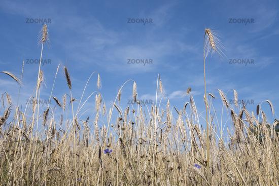 Field crops and cornflowers under blue skies