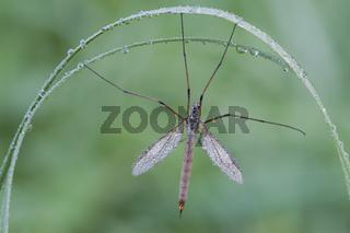 Kohlschnake / Crane Fly / Tipula oleracea
