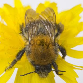Ackerhummel (Bombus pascuorum) - Common Carder Bee (Bombus pascuorum)