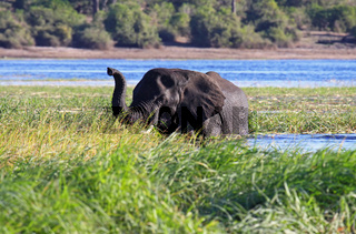 Afrikanischer Elefant schwimmt im Chobe, Botswana