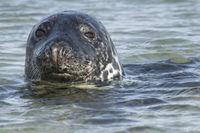 Portrait of a grey seal 2