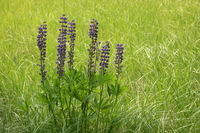 Wild lupine blooming in the meadow