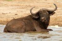 Wild Buffalo in the water