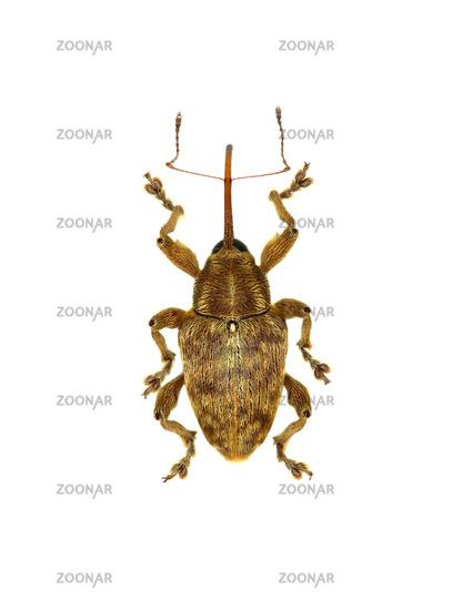 Acorn Nut Weevil on white Background  -  Curculio venosus (Gravenhorst, 1807)