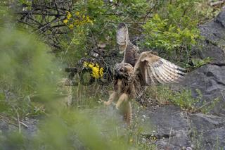 ein Uhu und noch ein Uhu... Europäischer Uhu *Bubo bubo*, zwei Jungvögel in einer Felswand