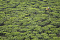 Woman harvesting tea leaves